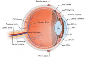 Eye Anatomy Detail Image By An Eye Doctor In Brooklyn, NY